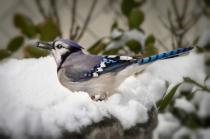 Mr. Blue J. Bird