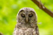 Baby Barred Owl F...