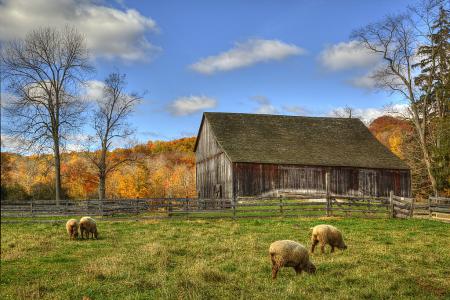 Hale Barn and Sheep