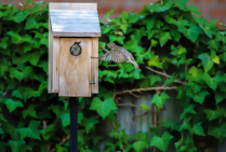 Sparrow trying to take over nesting box!