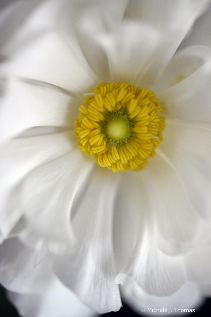 Yellow Crown! - ID: 15825461 © Michèle J. Thomas