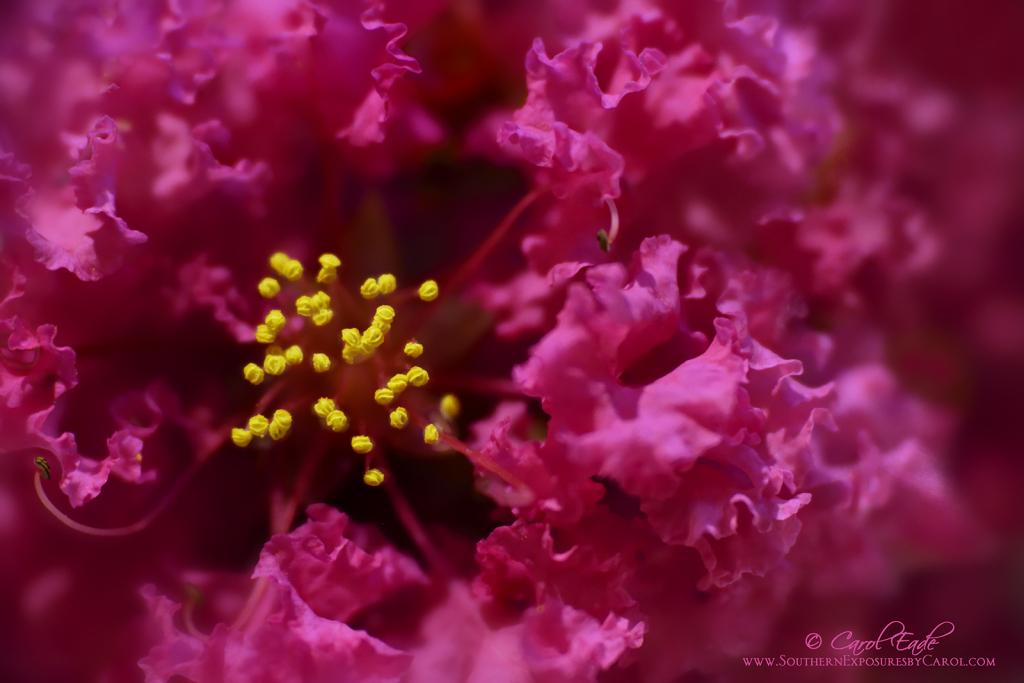 Lilac of the South - ID: 15826193 © Carol Eade