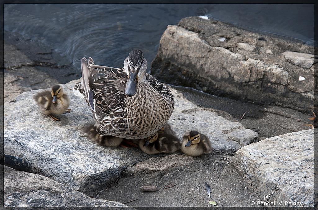 Momma & Baby Ducklings...