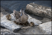Momma & Baby Ducklings...