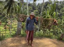 Harvesting Rice in Bali