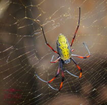 ~ ~ YELLOW AND RED SPIDER ~ ~