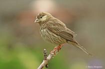 Leucistic  Female House Finch