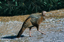 Wild Turkey II