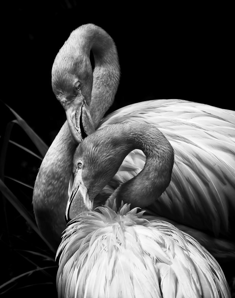 Flamingo Pair in Black and White