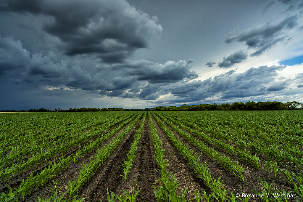 North Dakota cornfield and incoming storm