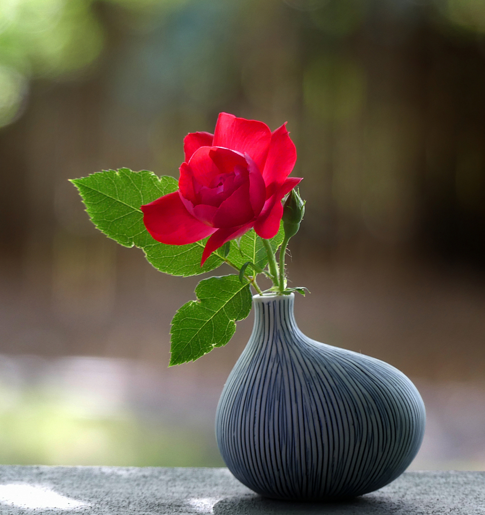 First Rose From My Garden