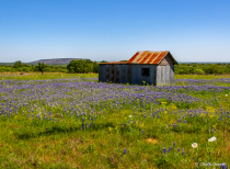 Old Shed with Bluebonnets