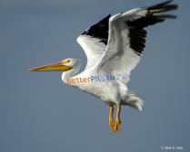 Pelican Ad