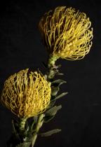Pincoushion Proteas