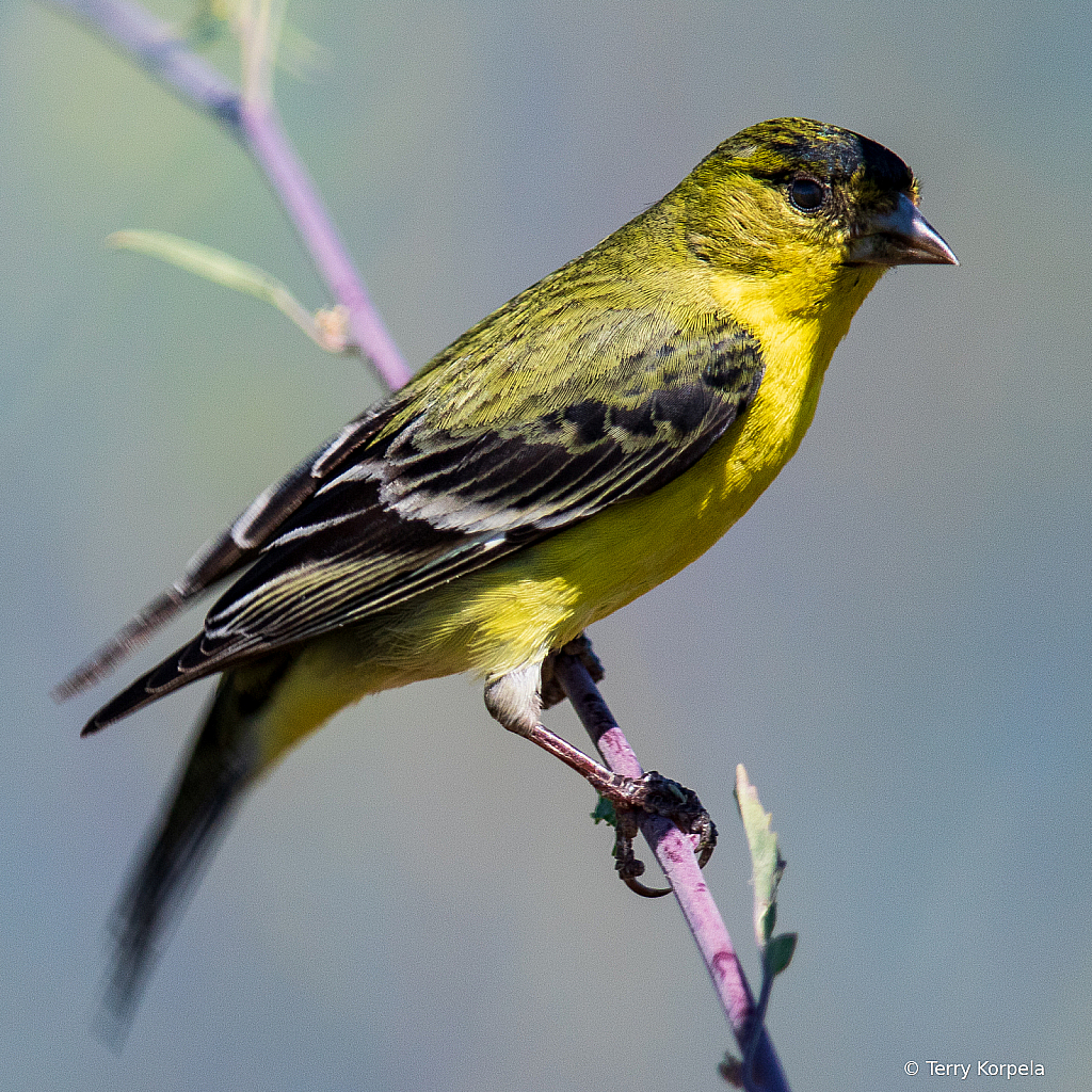 Lesser Goldfinch (male)