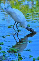 Woodstork Reflection