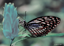 All American Butterfly