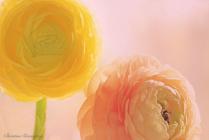 Two Ranunculus