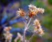 ~ ~ DRIED THISTLE...