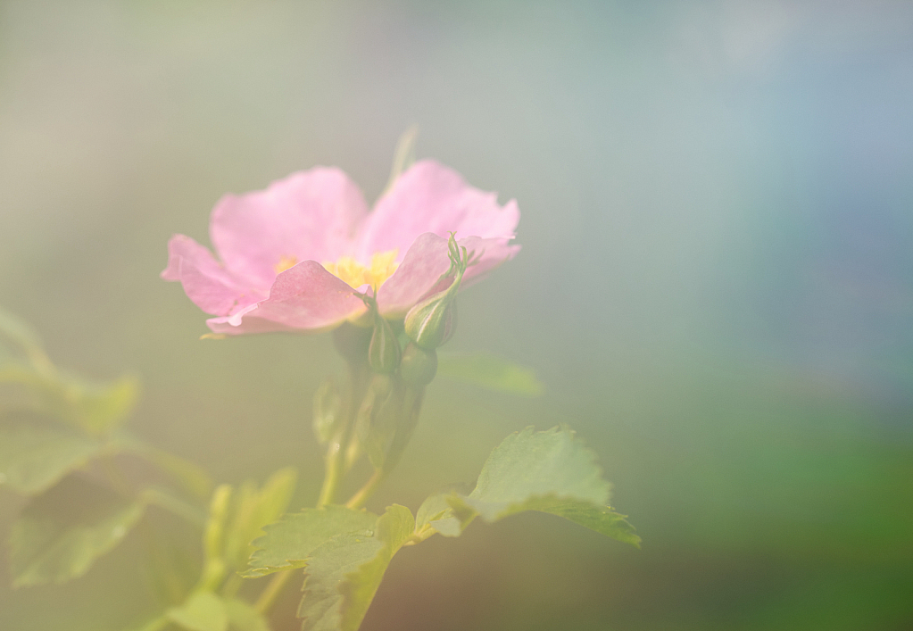 Wild Rose with Omni filter