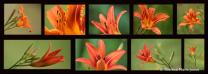 Orange Day Lillies