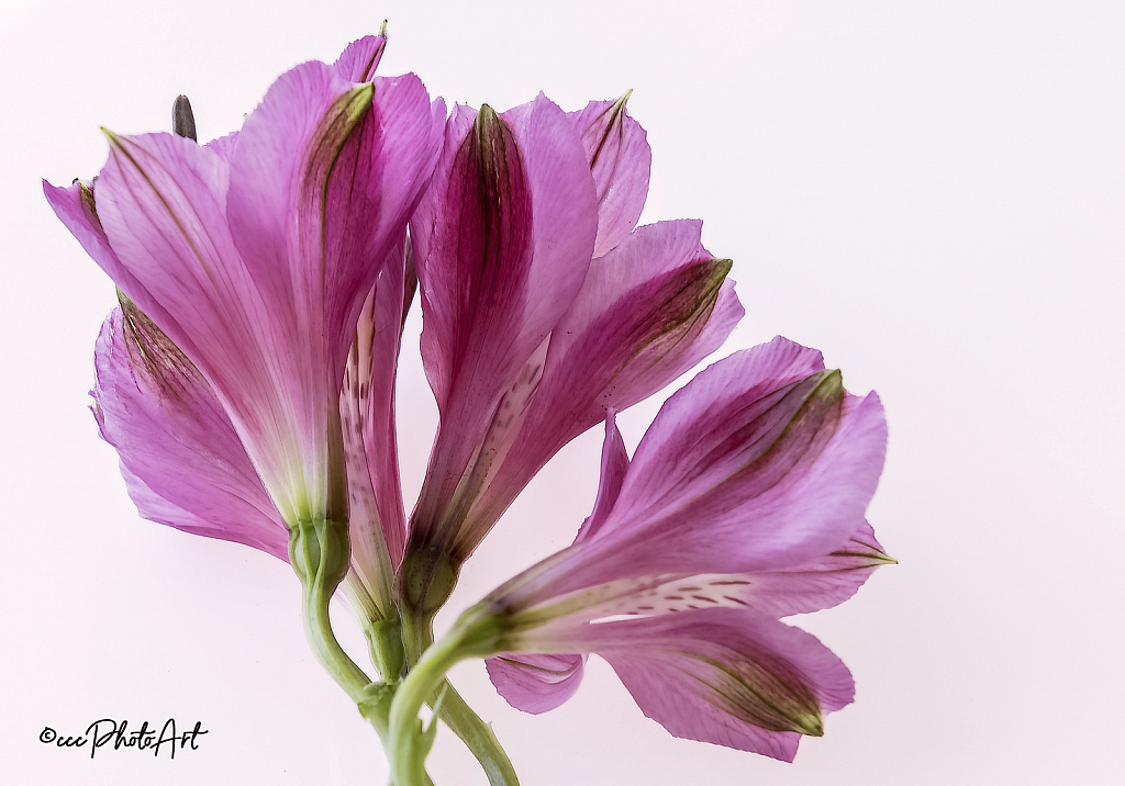 Fan Tastic Lillies - ID: 15828734 © Candice C. Calhoun