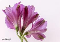 Fan Tastic Lillies