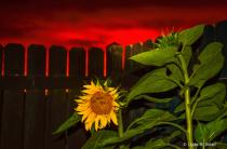 Nighttime Sunflower