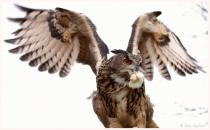 Long Eared Owl - Domestic 2