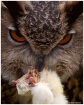 Long Eared Owl - Domestic 1