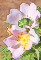 Beetle and wild roses.