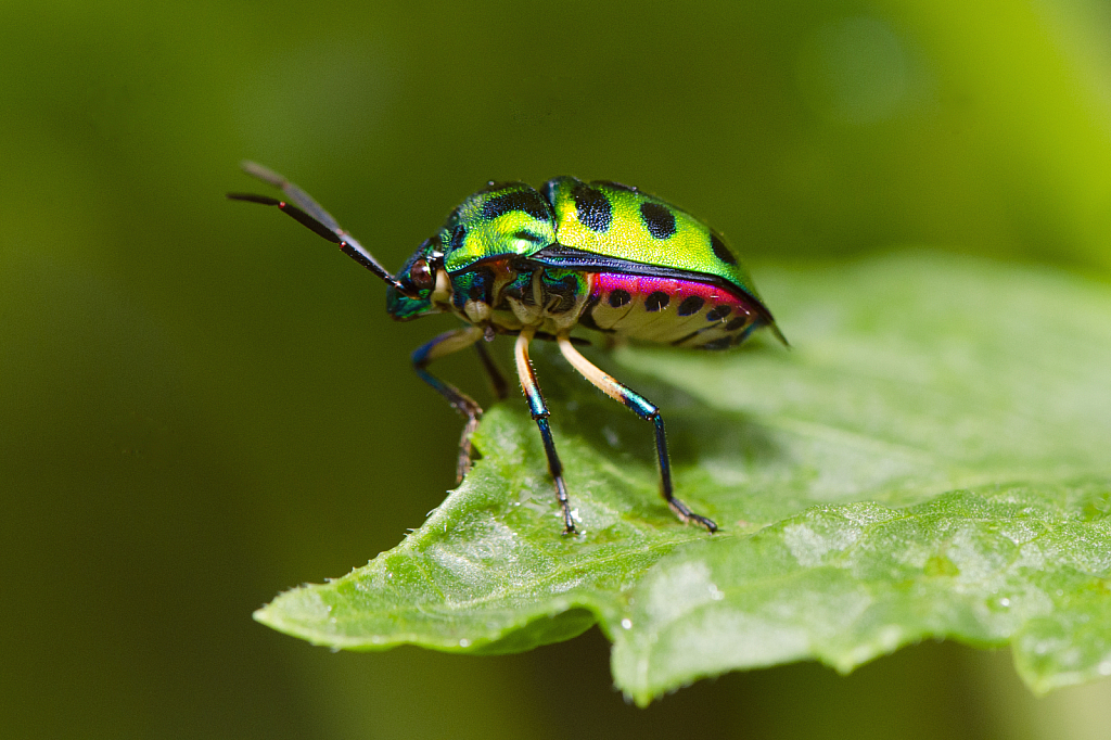 Lychee Shield-backed Jewel Bug