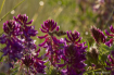 Pawnee Purple