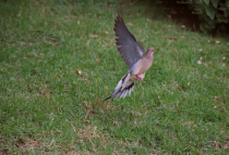Mourning Dove on take off!