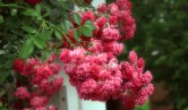 arbor roses in soft focus