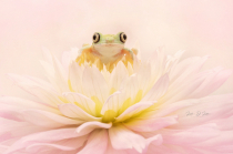 Leumur Tree Frog on a Dahlia