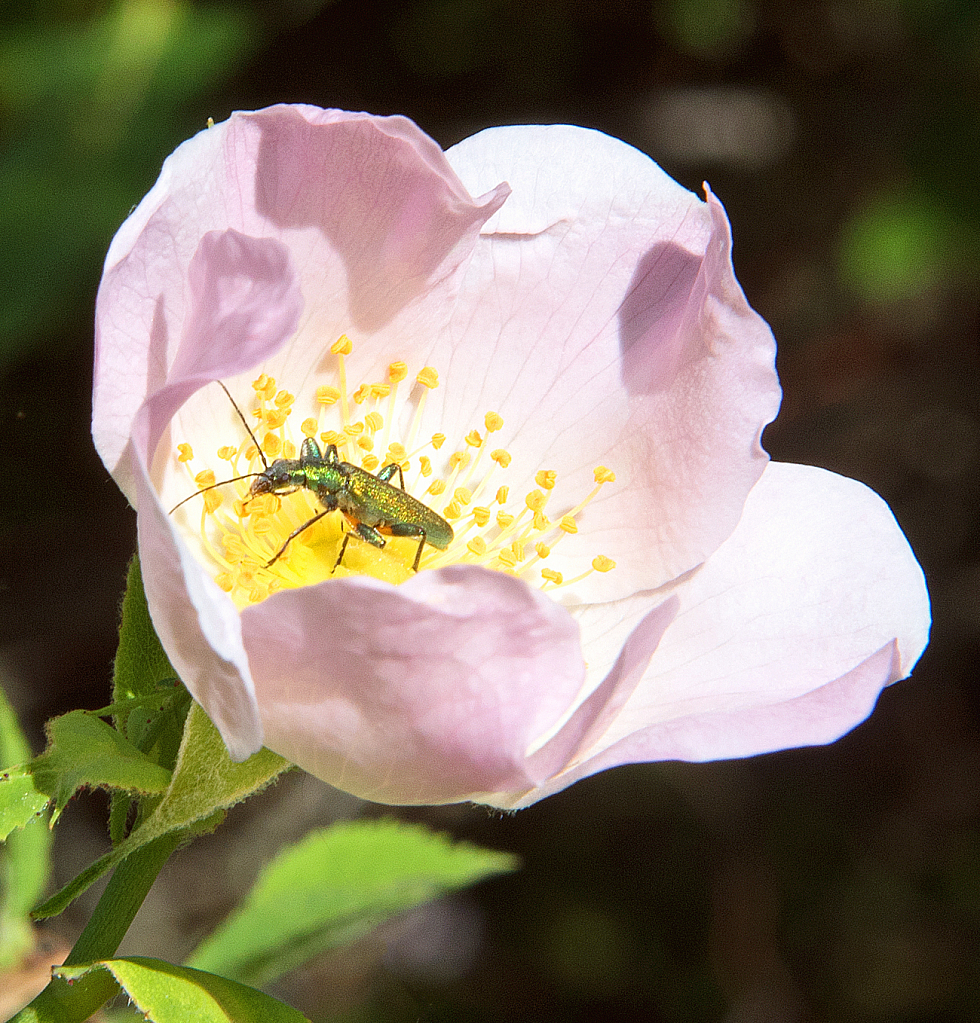 Exploring the heart of the dog rose.