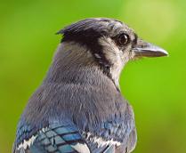 Portrait of a Blue Jay