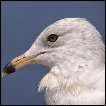 Seagull Portrait2