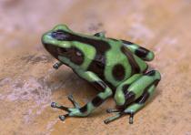 Dendrobates frog