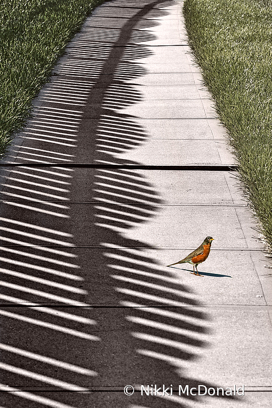 Fence Shadow and Robin