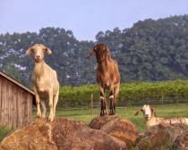 Morgan Ridge Goats