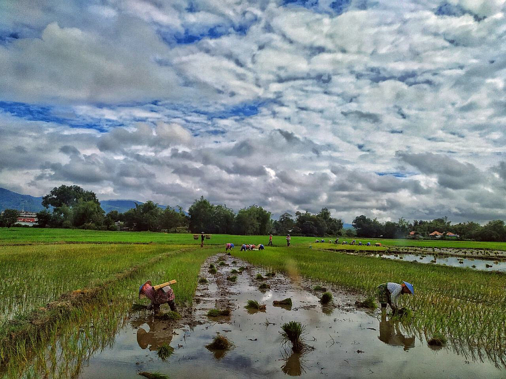 Planting in th rice field