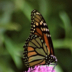 © Theresa Marie Jones PhotoID # 15830029: Monarch on Clover