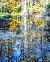 Cypress Swamp Reflections in Florida