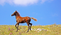 Galloping on the highlands.