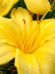 Yellow Flower in ...