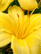 Yellow Flower in my yard today.