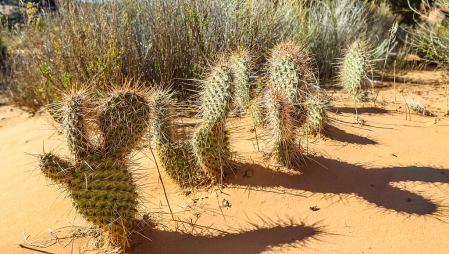 The dance of the desert cactus