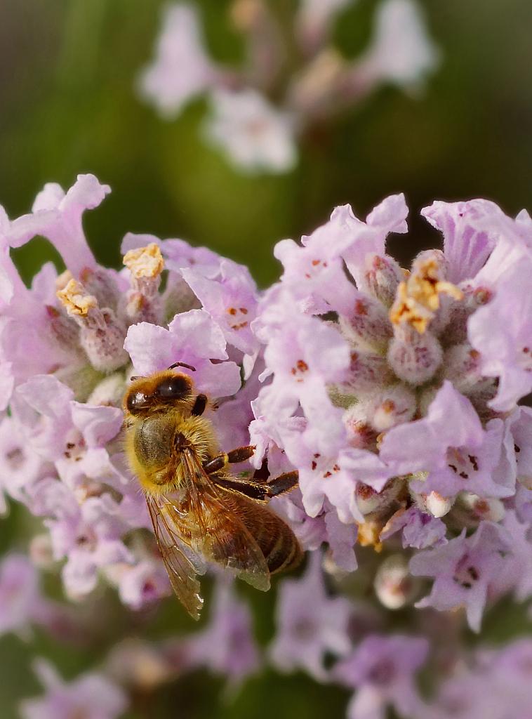 Harvesting Pink Lavender